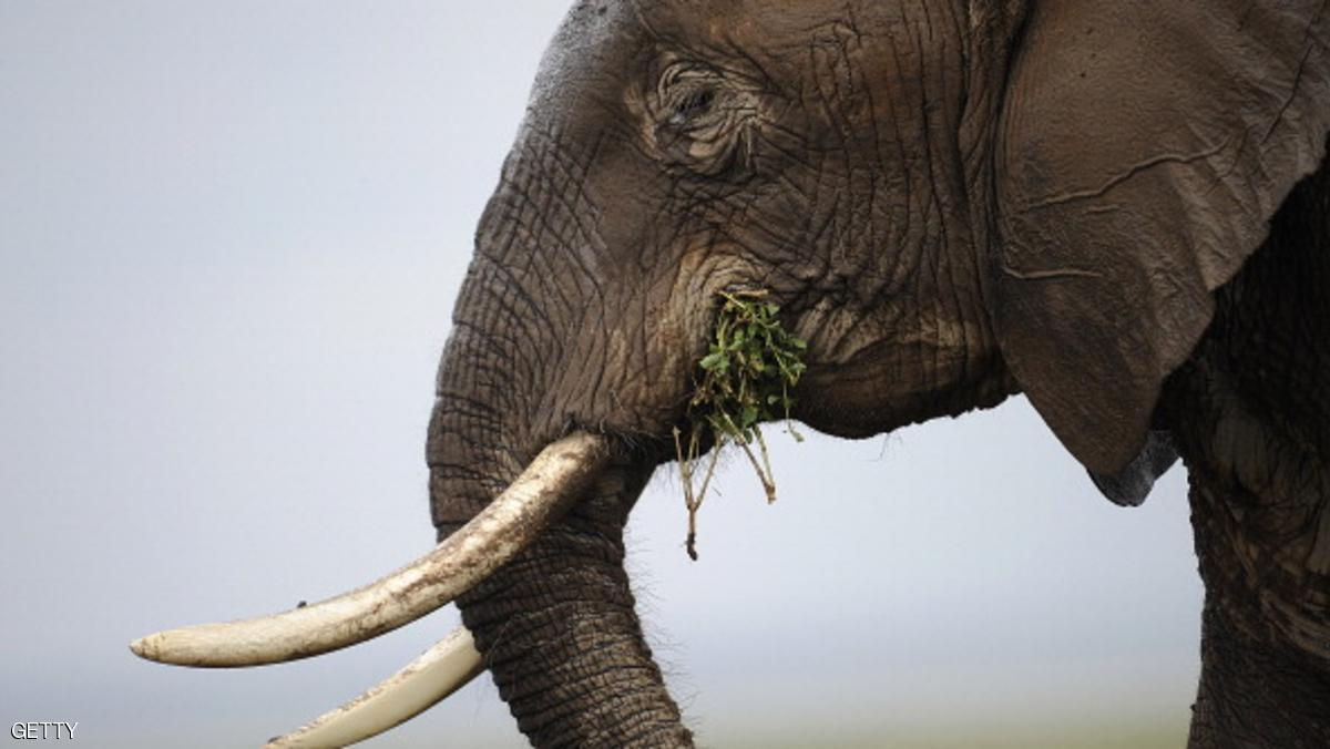 الصيد الجائر للأفيال في إفريقيا لا يزال مرتفعا
