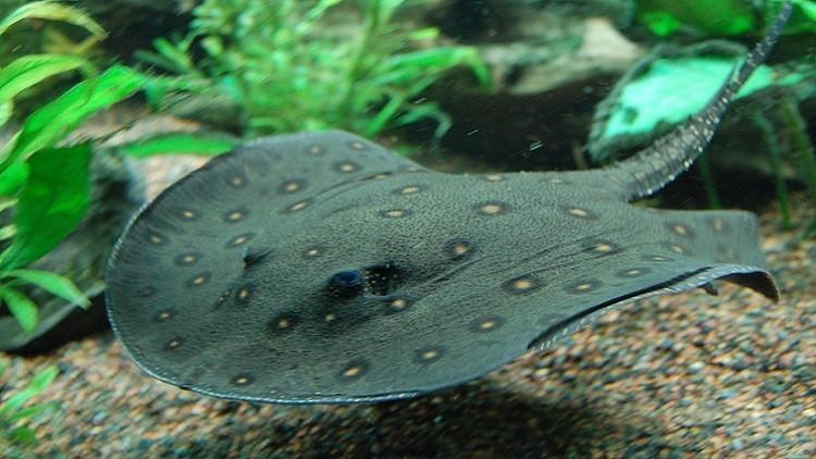 اكتشاف نوع سمك قادر على مضغ الطعام