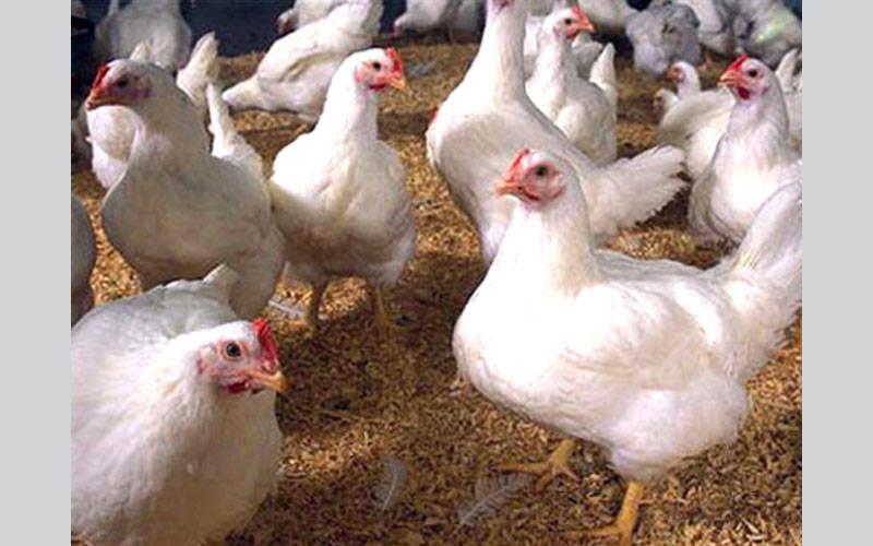 حظر استيراد الطيور الحية وبيض التفقيس ومخلفاتها غير المعاملة حرارياً من السعودية