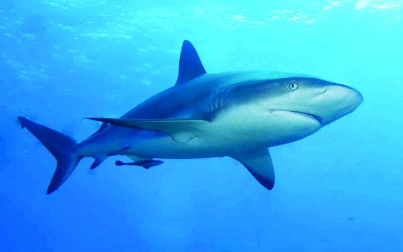 حظر صيد أسماك القرش اعتباراً من اليوم وحتى 30 يونيو المقبل
