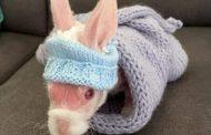 الأرنب الأصلع يحقق جماهيرية على إنستغرام