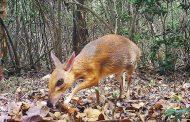 ظهور «الفأر الغزال» في غابات فيتنام