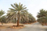 بملف عربي قادته الإمارات.. اليونسكو تدرج النخلة على القائمة التمثيلية للتراث الثقافي غير المادي