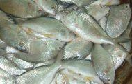 رفع الحظر عن صيد أسماك البدح في أبوظبي اعتبارا من الغد