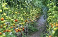 مزارع الفجيرة تعزز الأمن الغذائي