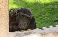 حديقة الحيوانات بالعين تحتفل باليوم العالمي للشمبانزي