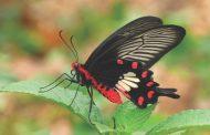 الحجم واللون حاسمان في تكيّف الفراشات