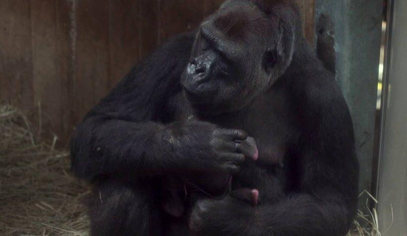 حديقة حيوان برلين تشهد مولد أول صغير غوريلا منذ 16 عاماً