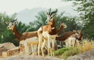 حديقة الحيوانات بالعين تعزز جهودها للحافظ على الأنواع المهددة بالانقراض والنادرة