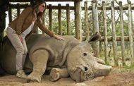 انقراض وحيد القرن الأبيض الشمالي