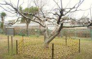 تفاحة نيوتن سقطت من شجرة عمرها 4 قرون