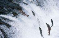 لمواجهة حرارة مياه البحر.. كاليفورنيا تنقل 17 مليون سمكة سلمون في شاحنات