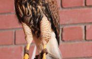 حديقة الحيوانات بالعين تستقبل مولوداً جديداً من طائر هاريس هوك