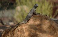 حديقة الحيوانات بالعين تواصل جهودها لحماية السحالي من الانقراض